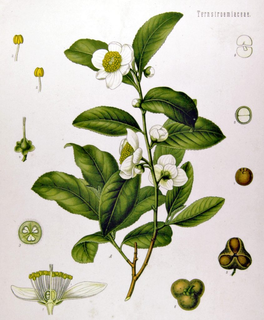 botanical drawing of tea